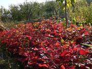 Продам саженцы красного дуба