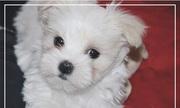 Красивые Мальтийский щенки ищут дом!.