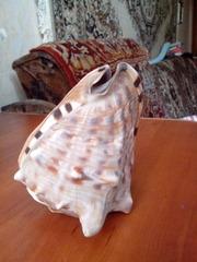морская ракушка