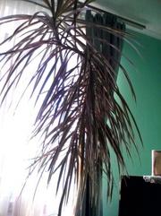 пальма у висоту 2.5 етри