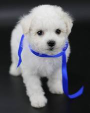 Продам шикарных щеночков породы Бишон фризе