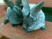 Продам кролів породи сріблястий.